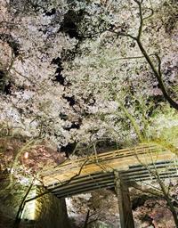 高遠 夜桜
