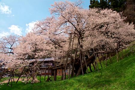 飛騨高山 臥龍桜