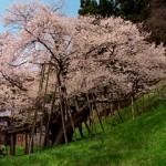 岐阜県飛騨高山 臥龍桜